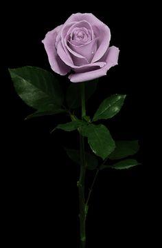 Beautiful Rose Flowers, Exotic Flowers, Hula Dancers, Cactus, Purple Roses, Flower Wallpaper, Perennials, Planting Flowers, Photo Art