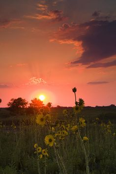 ✯ Sunflowers at Sunset