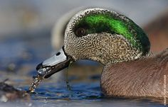 American Wigeon Facts, Figures, Description and Photo