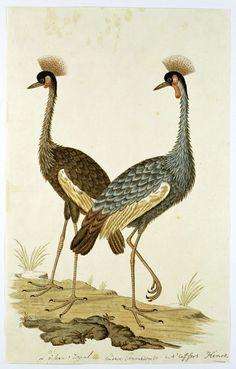 Twee kroonkraanvogels (Balearica regulorum), Robert Jacob Gordon, 1777 - 1786