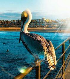 Huntington Beach, Bird, Animals, Animales, Animaux, Birds, Animal, Animais