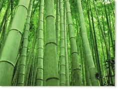 Given the height of some bamboos (over 100 feet tall), the answer to the question, What is bamboo? may be somewhat surprising. But the bamboos are, indeed, classified aswoody, evergreen, perennial grasses.  Geographically, bamboos are most...