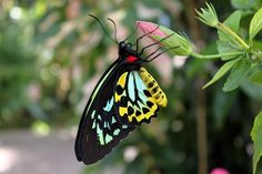 ~~ A beautiful Cairns Birdwing by Shelly221 ~~