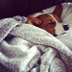 Beagle Puppies, Corgi Dog, Cute Puppies, Cute Dogs, Cardigan Welsh Corgi Puppies, Corgi Sleeping, Hip Bag, Corgis, Little Dogs