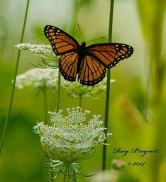 Monarch by Ray Pregent Wildlife photographer on 500px