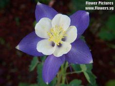Columbine Flower blue