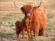 Scottish Highland cow with calf. The breed is known to have grazed the rugged Scottish landscape since the sixth century.  They have a double coat of hair, quiet dispositions, superior intelligence and calm nature.    The extremely harsh conditions in Scotland created a process of natural selection, where
