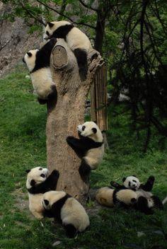 baby pandas learning to climb