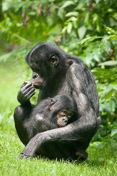 Bonobo by A.J. Haverkamp
