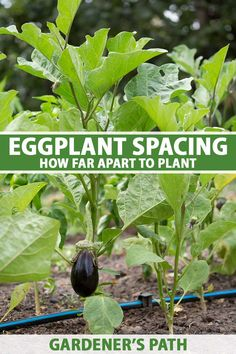 Eggplant spacing might seem straightforward but once you dive into the world of aubergines you'll realize the plants come in varied sizes. Plus, eggplants can be grown as short-lived perennials and the spacing requirements change. To find out everything you need to know, read more. #eggplant #growyourown #gardenerspath Starting A Vegetable Garden, Vegetable Garden For Beginners, Gardening For Beginners, Gardening Tips, Growing Vegetables Indoors, Container Gardening Vegetables, Growing Herbs, Vegetable Gardening, Diy Garden Projects