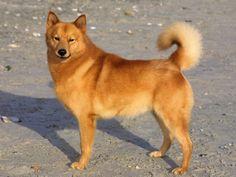 Sukunimi Finnish Spitz Dogs | Finnish Spitz Dog ...
