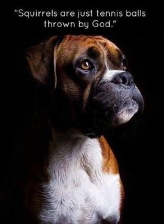 A Boxer dog truth