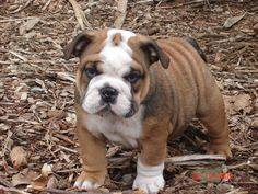 English Bulldog puppy ~ Facebook | Fan photos from CMTs Pick A Puppy