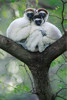 Silky Sifakas in a tree