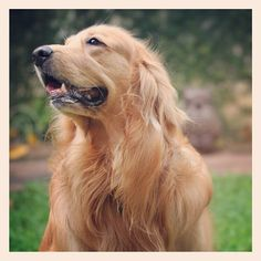 Handsome Golden Retriever