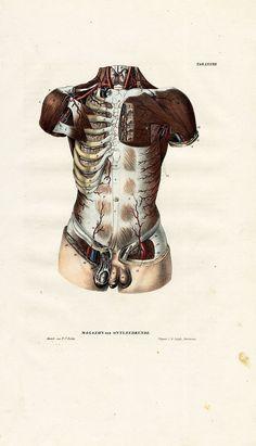 """Tab. LXXXII. """"Magazijn van ontleedkunde, of volledige verzameling van ontleedkundige afbeeldingen van het menschelijk ligchaam (Compendium of scientific drawings, a complete collection of anatomical images of the human body)"""", Amsterdam, C.G. Sulpke, 1839."""