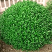 Boxwood North Star, Buxus sempervirens 'North Star'™, is a superb new hardy boxwood with a dense glo Landscaping Plants, Evergreen Shrubs, Evergreen Landscape, Boxwood Bush, Wintergreen Boxwood, Lawn And Garden, Buxus Sempervirens, Box Wood Shrub, Winter Gem Boxwood