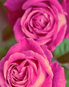 Just Beautiful Roses