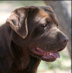 Show Labs Retired Champions Adult Dogs | Kenya Labradors