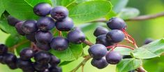 Aronia: The North American super berry with cancer-fighting properties. I've been enjoying these locally grown berries on a bowl of cereal each morning Fruit Trees, Trees To Plant, Aronia Melanocarpa, Colon Health, Health Diet, Health Fitness, Natural Ecosystem, Fast Growing Trees, Sour Taste