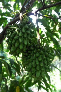 """Annonaceae, Rollinia deliciosa (mucosa) aka """"Biriba"""". Tropical S. America"""