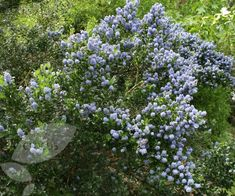 Buy Californian lilac Ceanothus Skylark - A haze of bright blue flowers in early summer: 2 litre pot: Delivery by Crocus Skylark, Garden Borders, Blue Flowers, Lilac, Evergreen Flowers, Delivery, Bright, Climbers, Landscape