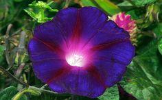 violets   Violet Flower Queen   photos HD