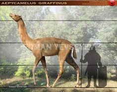 extinct camelidae Aepycamelus