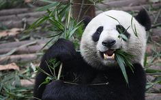 Climate Change Is Killing Off Pandas' Food