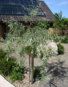 Pyrus salicifolia 'Pendula', silverpäron