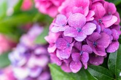 Japan's Rainy Season Travel Tips And What To Wear Magazine Japan, Web Magazine, Rainy Season Pictures, Harajuku Station, Cloudy Weather, Umbrella Cover, Colorful Umbrellas, Hydrangea Macrophylla, Pink Petals