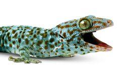 Tokay Gecko