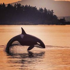 """a maturing male Transient orca. It was an epic day on the water off Moresby Island, BC . Photos will be filtering in """" Orcas, Beautiful Creatures, Animals Beautiful, Rare Animals, Strange Animals, Save The Whales, Ocean Creatures, Killer Whales, Fauna"""