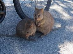 DAY 2 QUOKKAS We saw some funny animals called Quokkas. Dad and mum said we have to see Ayers Rock. So we're flying into the centre of Australia tomorrow, to Alice Springs. Australia Day, Western Australia, British Airways Planes, I Want To Cuddle, Quokka, Travel Photos, Places Ive Been, Funny Animals, Wildlife