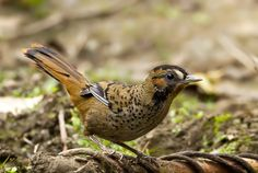 Rufous-chinned Laughingthrush - Google Search