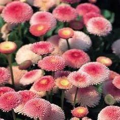 Bellis Tasso Strawberry Cream -Large,Densly Double - My site Side Garden, Garden Art, Bellis Perennis, Landscape Pictures, Strawberries And Cream, Container Plants, Dream Garden, Garden Inspiration, Shrubs
