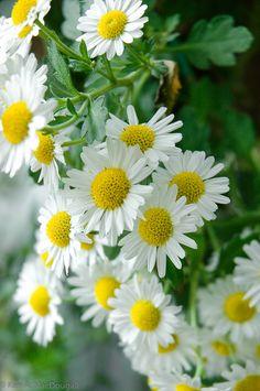 MARGARIDA: É uma planta feminina, tendo como regente o planeta Vênus. É dedicada ás Deusas Freya e Ártemis. Seu poder está ligado a SORTE e ao AMOR. Uma rais de margarida, deixada sob o travesseiro resgata um amor perdido. Suas pétalas secas, em forma de amuleto, possui o poder de atrair o amor.