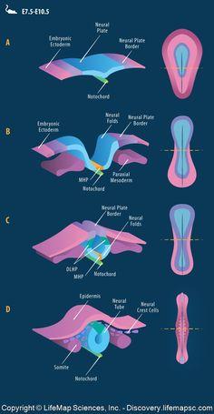 Gross Anatomy, Brain Anatomy, Human Anatomy And Physiology, Medical Anatomy, Biology Classroom, Biology Teacher, Female Reproductive System Anatomy, Arteries Anatomy, Biology Memes