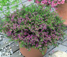 planta forração falsa érica fácil de cuidar 4