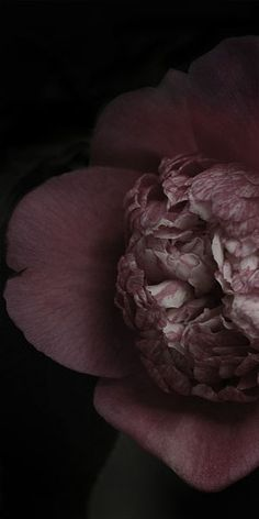 """Flowers in Neutral Moment-2015 """" Camellia Japonica  ( Bokuhan Nishiki) """" Archival pigment print Printed on cotton rag fine art paper Photo by Soichi Oshika"""