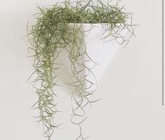In Hawaii, we call Spanish moss, Pele's hair, for the goddess Pele. Indoor Plant Pots, Outdoor Plants, Air Plants, Moss Garden, Garden Trees, Lawn And Garden, Spanish Moss, Miniature Plants, Hanging Plants