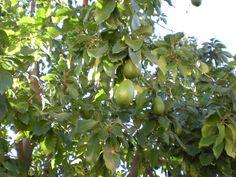 Guacamole wars: Drones and dogs deployed to fight disease ravaging Florida's avocado crop