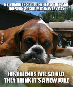 A sarcastic boxer dog meme on getting old and telling jokes- created on Petrage. The Social Media Site for Pets-Join Us! Funny Boxer Puppies, Boxer Memes, Boxer Dog Quotes, Boxer Dog Puppy, Dog Quotes Funny, Cute Dogs And Puppies, Dog Memes, Funny Dogs, Puppy Quotes