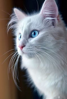 5 Interesting Facts about Norwegian Forest Cat