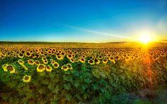 Sun setting over sunflower field