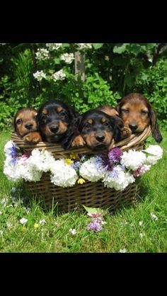 ❤ basket of dachshund love Weenie Dogs, Dachshund Puppies, Dachshund Love, Cute Puppies, Dogs And Puppies, Daschund, Animals And Pets, Baby Animals, Cute Animals