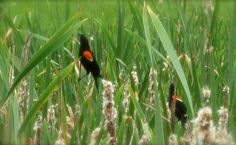 calls: more bird, less phone (red wing blackbirds at Cornell Plantations, Ithaca, NY) www.gold-boat.com