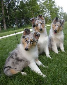 OMG BLUE MERLE COLLIES. Reminds me of my first dog Journey <3 collies have my heart.