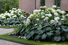 Hosta, Hydrangea arborescens Annabelle