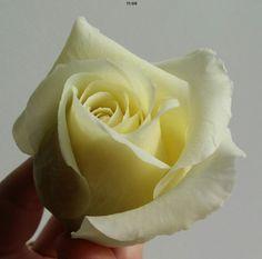 Роза полноразмерная Флешмоб Rose Clay, Flower Making, Icing, Flowers, How To Make, Handmade, Craft, Royal Icing Flowers, Floral
